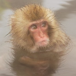 monkey in water