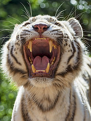tiger with teeth showing